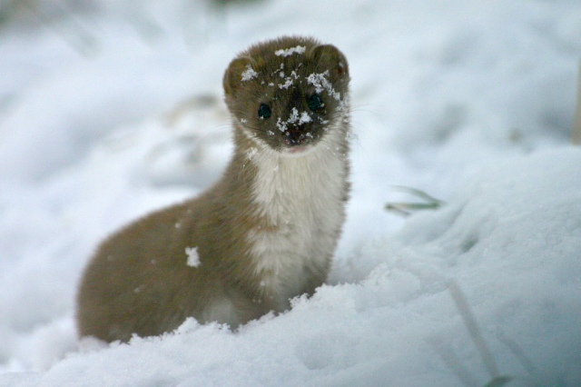 Weasel by WildPlaces