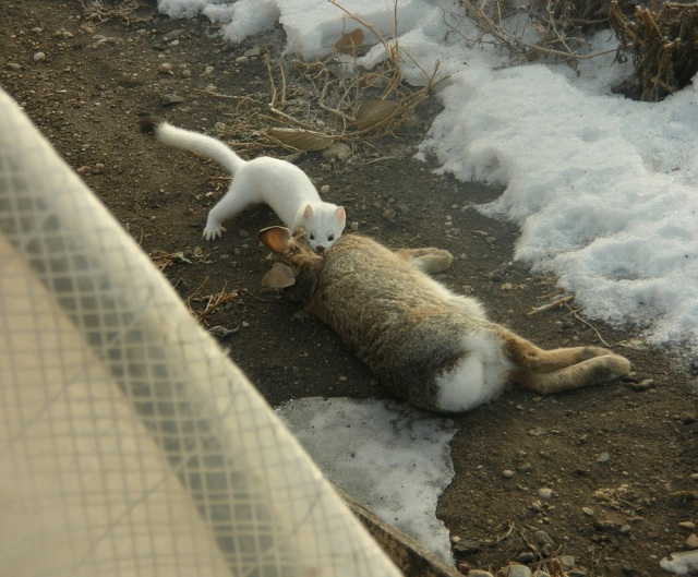 Weasel dragging rabbit by Jerry Bohnsack